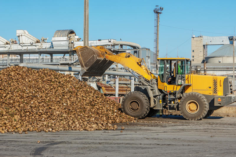 Front-end loader in action on the loading of sugar beet at a sugar. Factory stock image