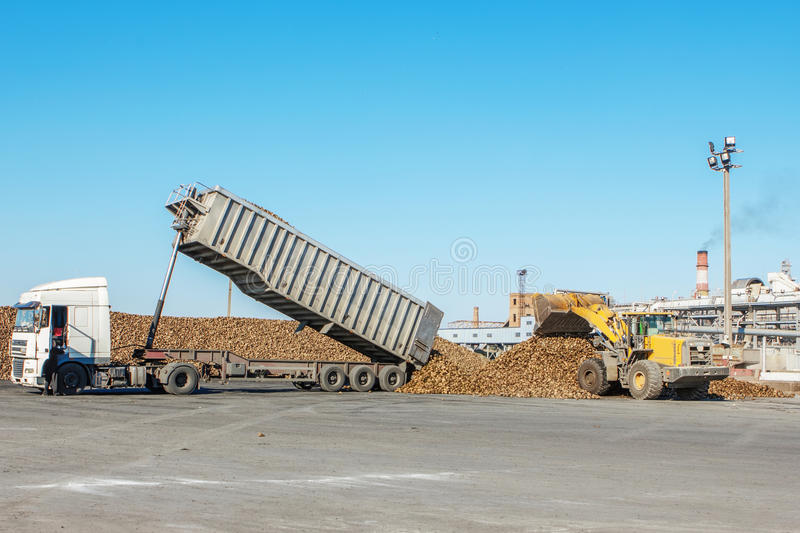 Front-end loader in action on the loading of sugar beet at a sugar. Factory. sugar beet harvest - truck waiting in front of off-loaded beet in factory for the royalty free stock photos