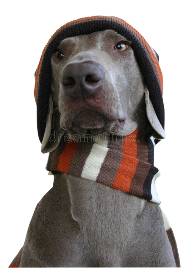 Front face of Dog with hat and scarf royalty free stock photo