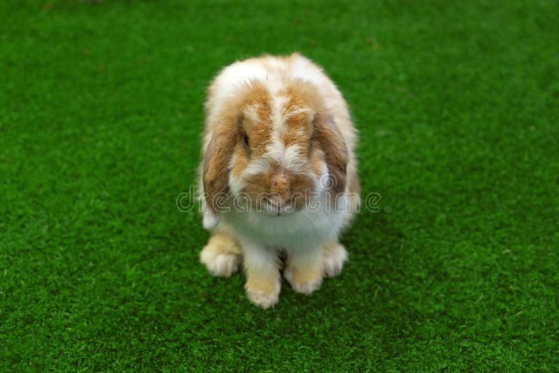 Front face of Holland Lop brown and white rabbit. On green grass stock photos