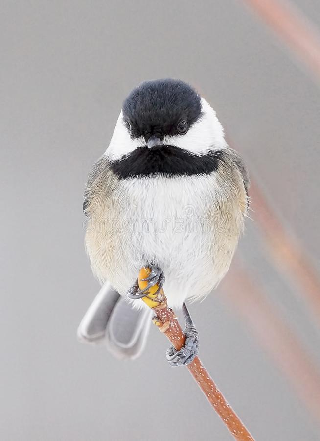 Tiny Chickadee Perched High On A Branch In Winter stock photography