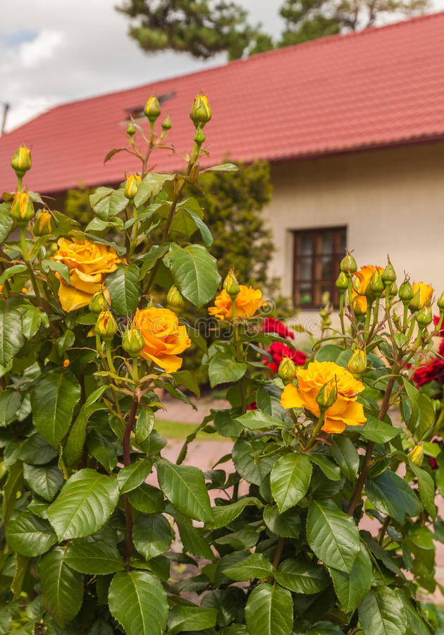 The front garden with yellow roses. Yellow roses on the background of one-storey house with a tiled roof royalty free stock photo