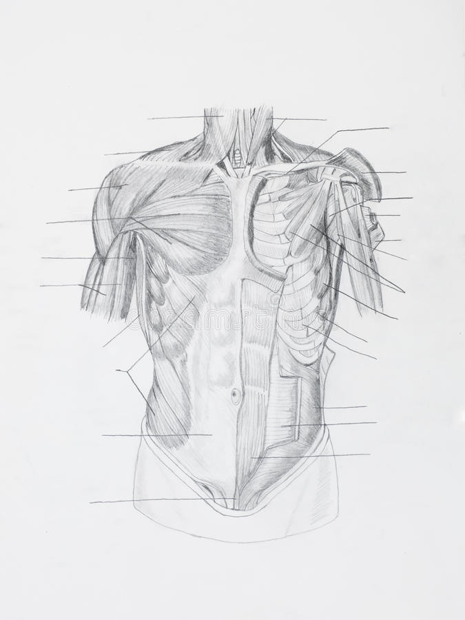 Front human muscles pencil drawing royalty free stock photos