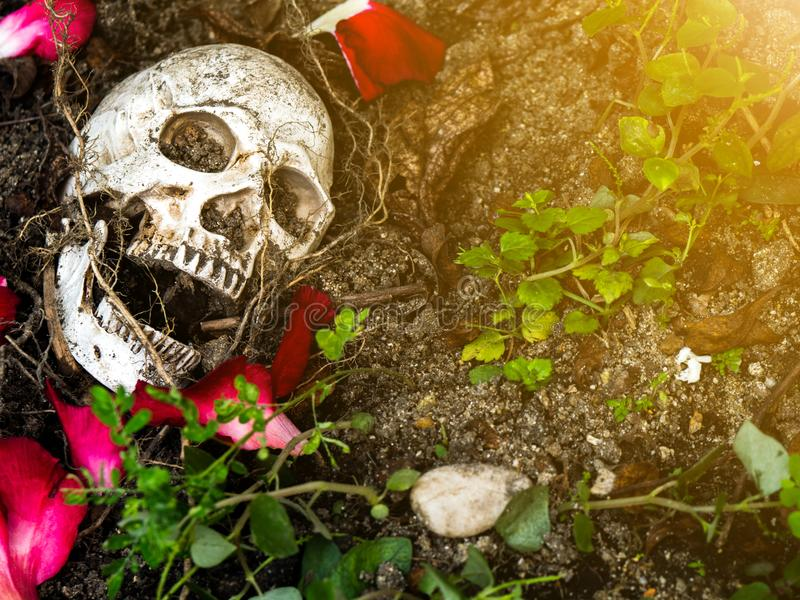 In front of human skull buried in the soil with the roots of the tree and rose petals on the side. The skull has dirt attached to royalty free stock image