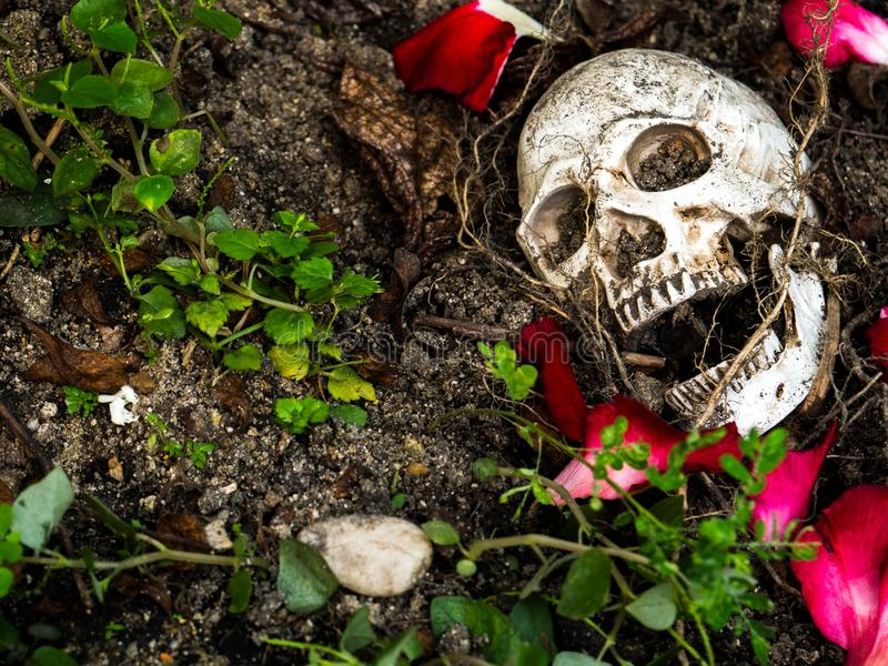 In front of human skull buried in the soil with the roots of the tree and rose petals on the side. The skull has dirt attached royalty free stock photos
