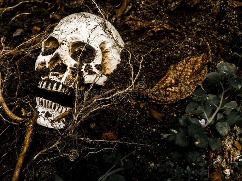 In front of human skull buried in the soil with the roots of the tree on the side. stock image