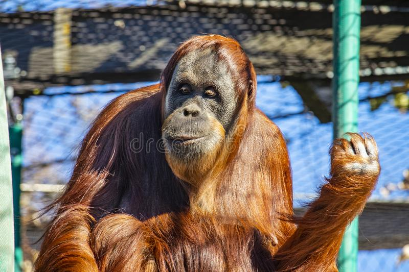 Front on of an orangutan at Melbourne zoo stock images