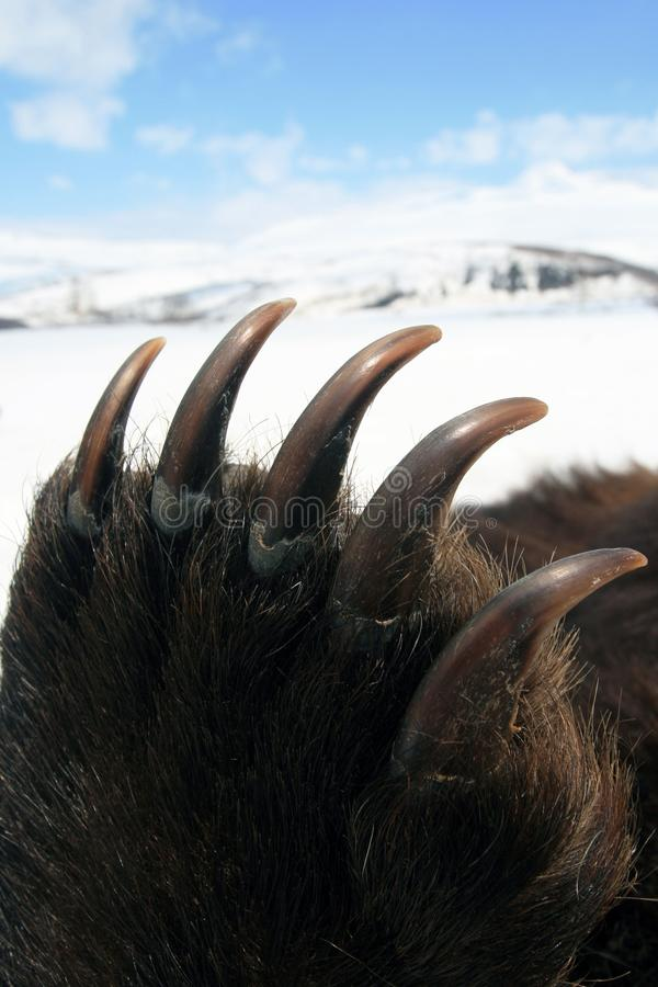 Front paw of a bear with long sharp claws, Siberia royalty free stock photography
