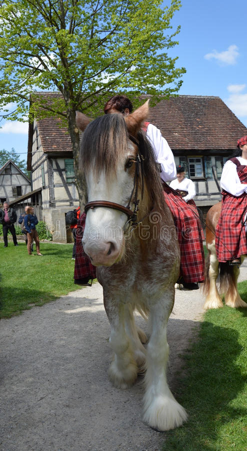 Front photo of a Shire horse stock image