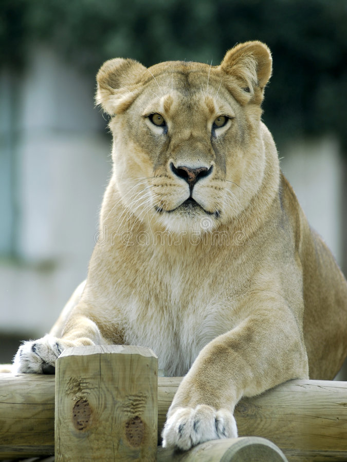 Front portrait of lioness stock photo