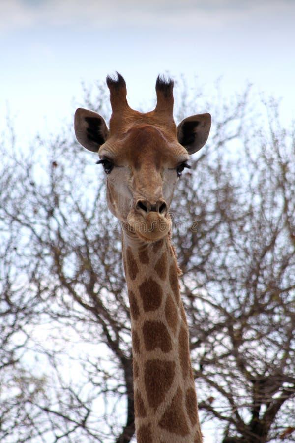 Front Portrait Picture de tête de girafe image stock