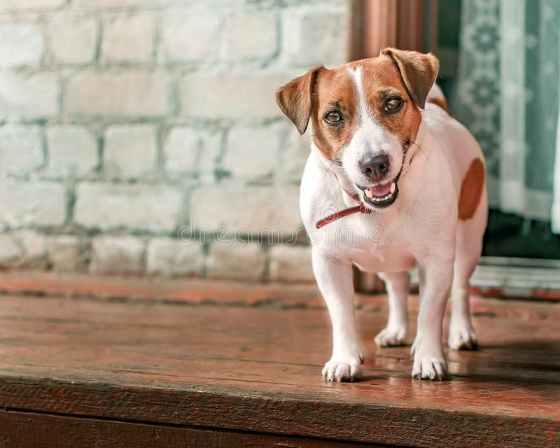 Front portrait of small cute happy smiling dog jack russel terrier standing outside on wooden porch of old brick house next to ope. N door at summer sunny day royalty free stock photo