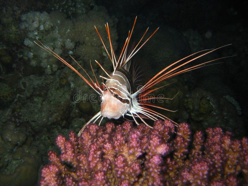 Clear fin lion fish royalty free stock image