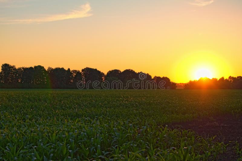A front selective focus picture of organic young corn field at agriculture field during sunset. Ukraine stock image
