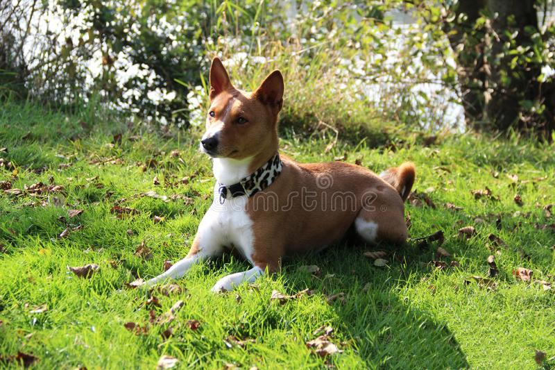 Front and side view of a two tone basenji in a natural landscape in meppen emsland niedersachsen germany. Front and side view of a two tone basenji lying in a royalty free stock image