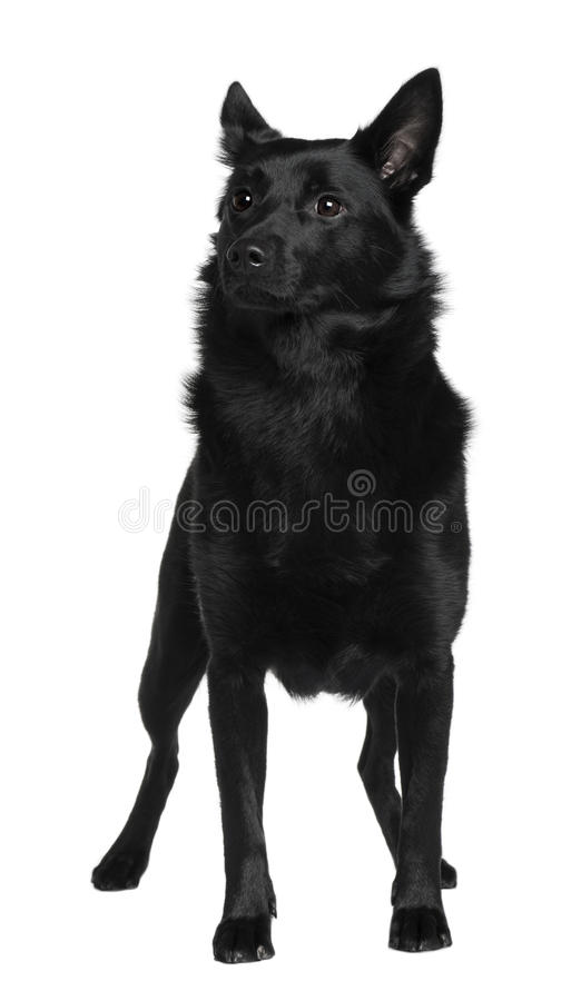 Front view of Australian Kelpie, standing royalty free stock photography