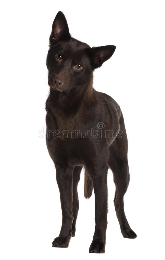 Front view of Australian Kelpie, standing royalty free stock images