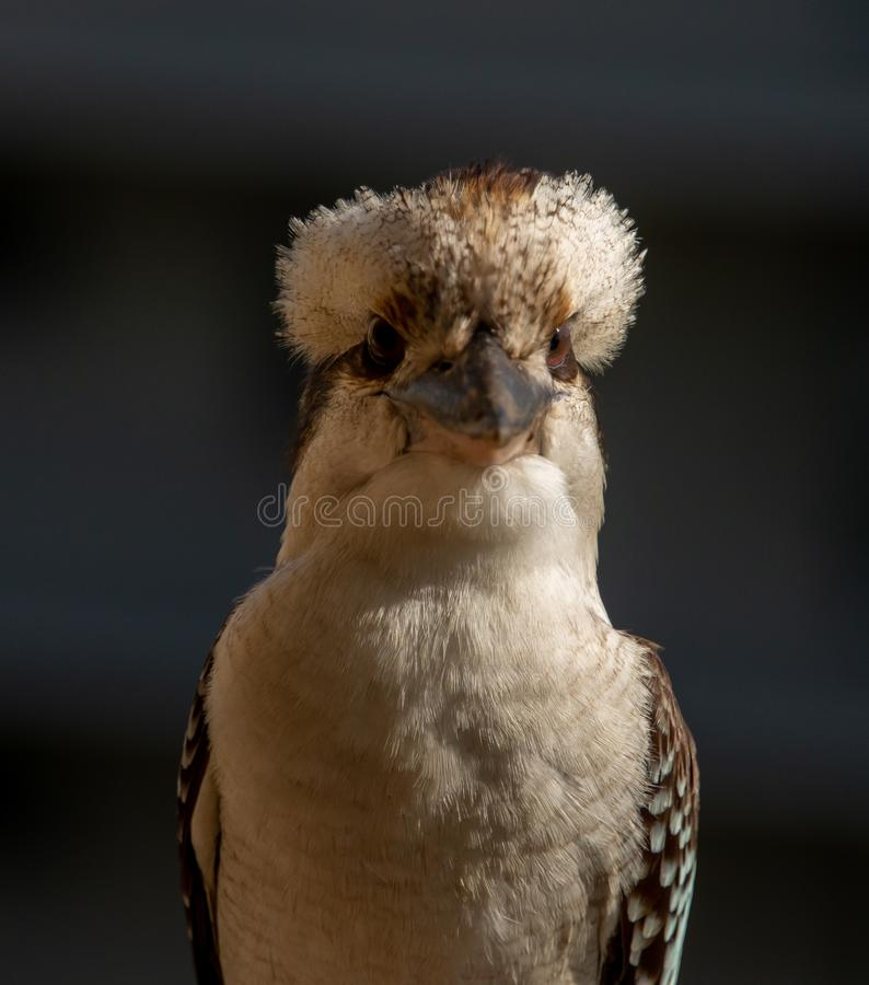 Front view of australian kookaburra bird royalty free stock photos