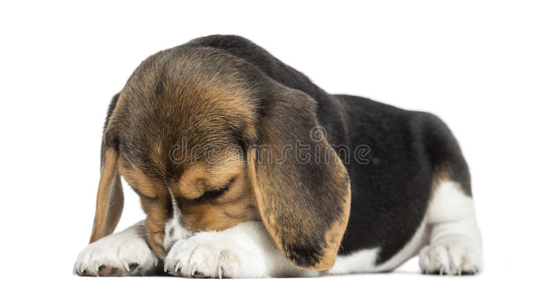 Download Front View Of A Beagle Puppy Lying, Hiding Its Face, Isolated Stock Photo - Image: 34776510