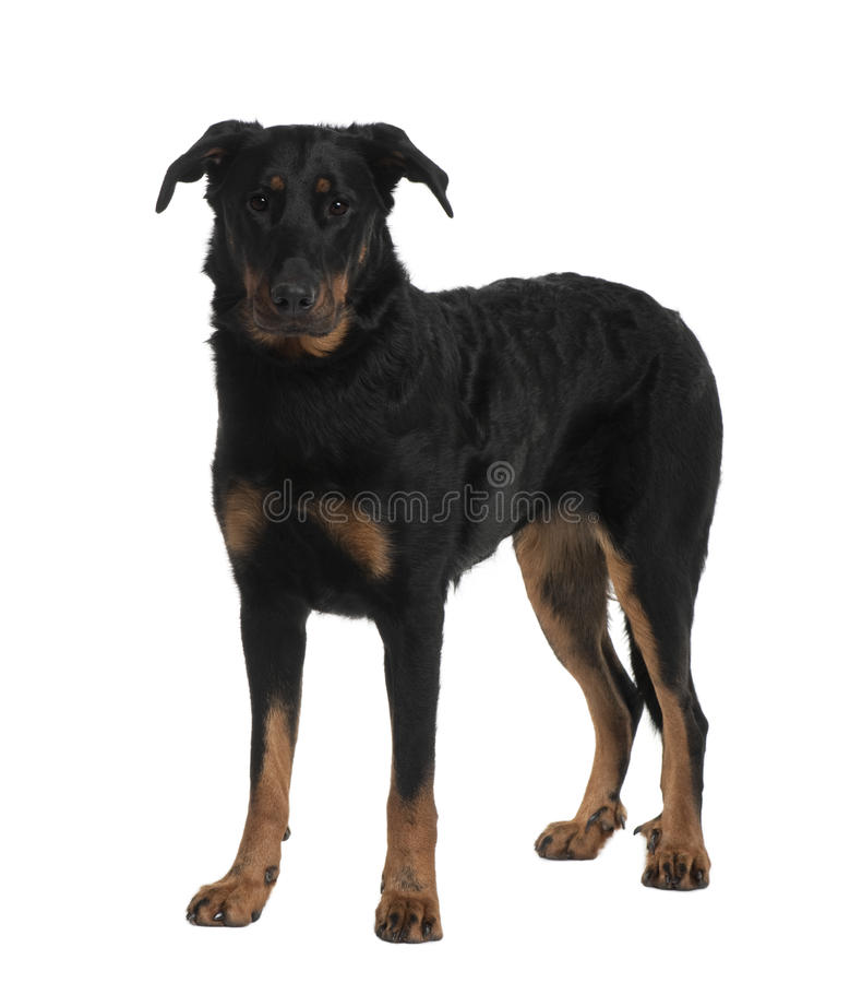 Front view of Beauceron, standing royalty free stock photos