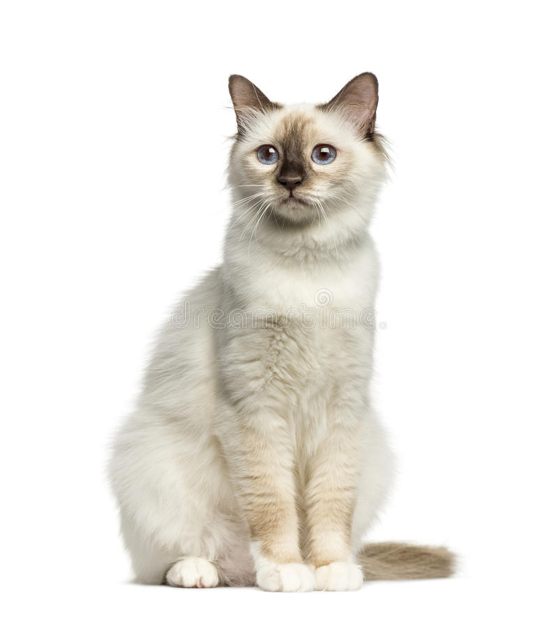 Front view of a Birman cat sitting royalty free stock photos