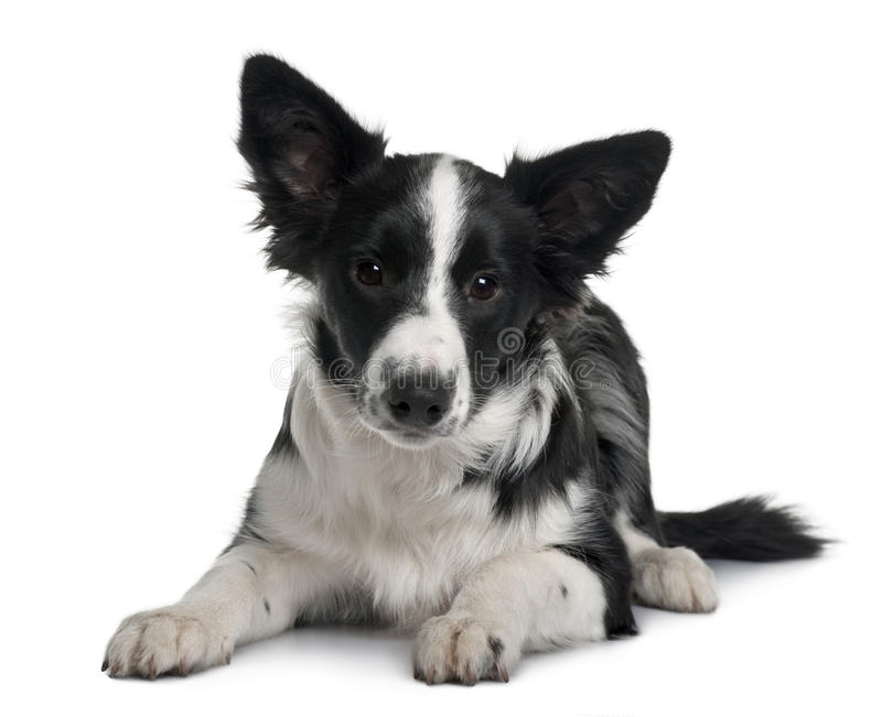 Front view of Border collie, lying down stock photography
