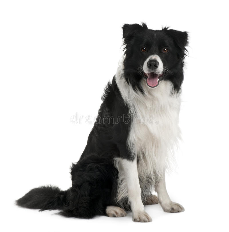 Front view of Border Collie, sitting and panting stock photography