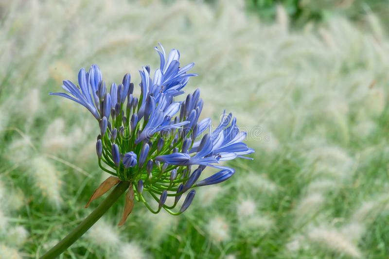 Front view of a bright blue blooming flower of Agapanthus, or Lily of the Nile stock photo