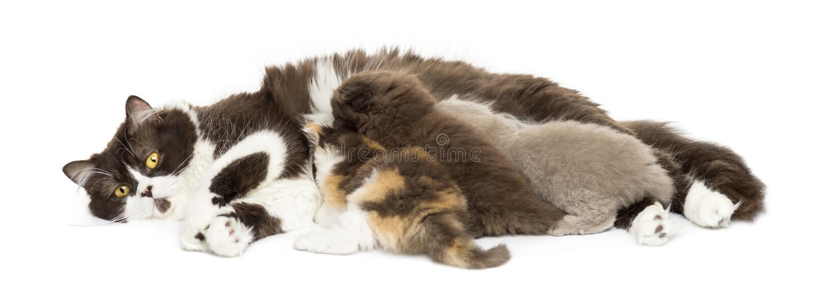 Front view of British Longhair lying, breastfeeding kittens royalty free stock image