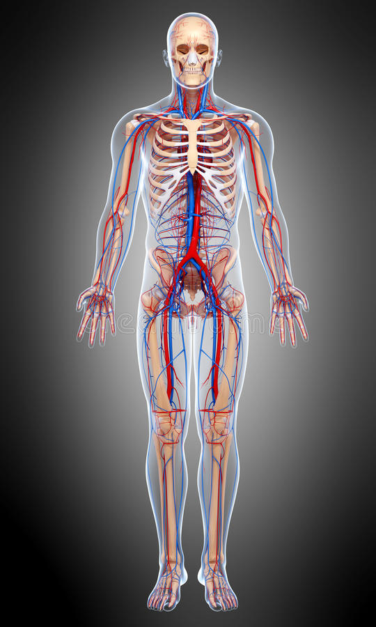 Front view Circulatory of male body in gray stock illustration