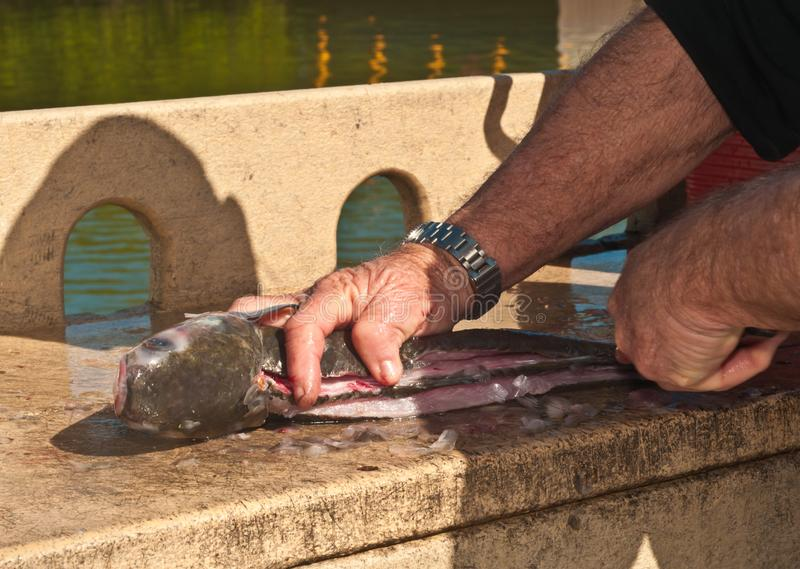 Fisherman cleaning and filleting fish at tropical marina. Front view, close distance of a male,isherman hands, cleaning and filleting a large, mullet fish at stock photo
