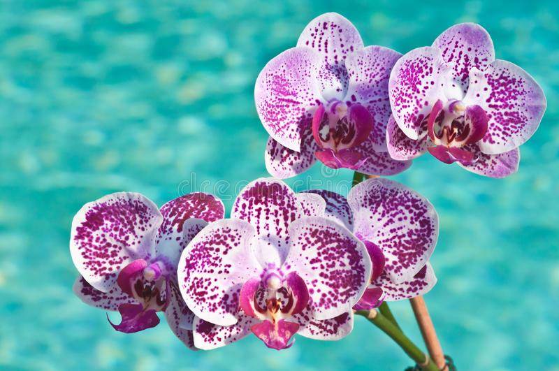 Purple orchid blooms at pool side. Front view, close distance of multiple, purple orchid blooms at pool side on a sunny, winter day royalty free stock photography
