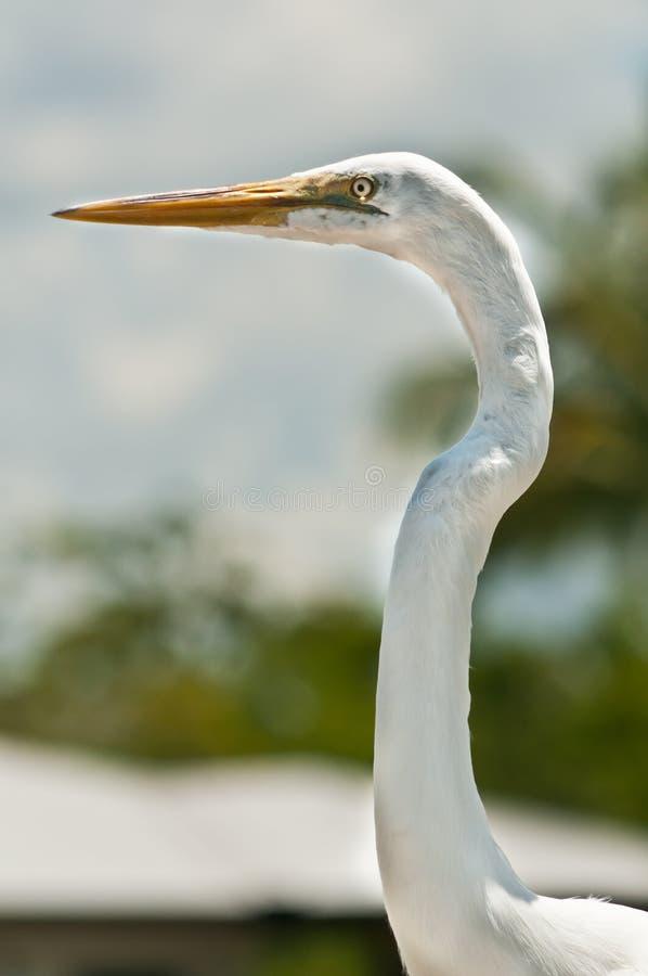 Portrait of a snowy egret with long, orange beak. Front view, close distance of a portrait of a snowy egret with long, orange beak, focused on searching for next stock photo