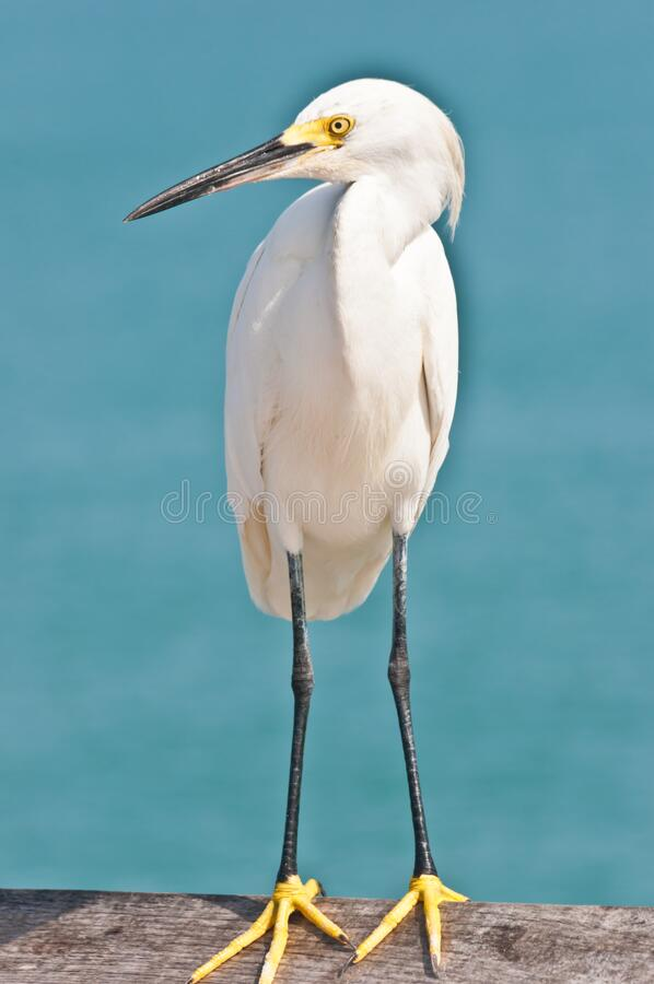 Snowy egret standing on  a wood rail  of a tropical pier stock images