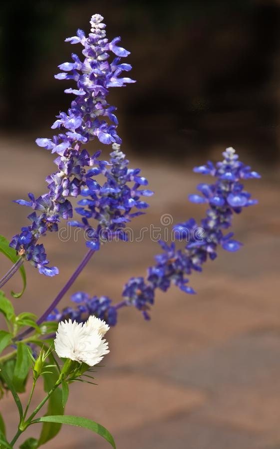 Purple salvia blooms and white tropical flower in a pot. Front view, close distance of three stems of purple salvia blooms and white tropical flower in a pot in royalty free stock image
