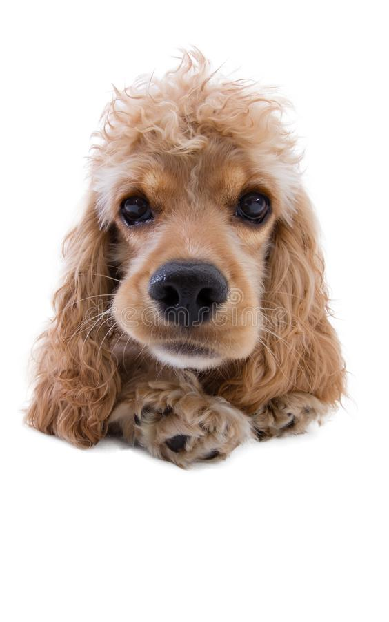 Close-up of a cute dog looking at camera. Front view close-up studio shot of a cute golden cocker spaniel dog looking at camera with concentration and curiosity royalty free stock image