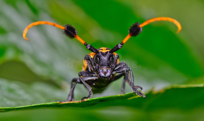 Front view of common tuft-bearing longhorn hanging on leaf. Macro front view of common tuft-bearing longhorn hanging on leaf ; selective focus at eye with blur royalty free stock photos