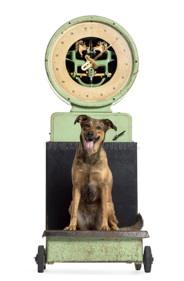 Front view of a crossbreed dog sitting on a weighing scale royalty free stock photography
