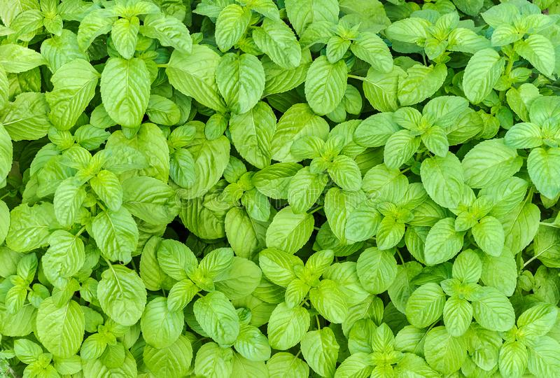 Top view of cultivation of organic mint. In a spring day stock photography