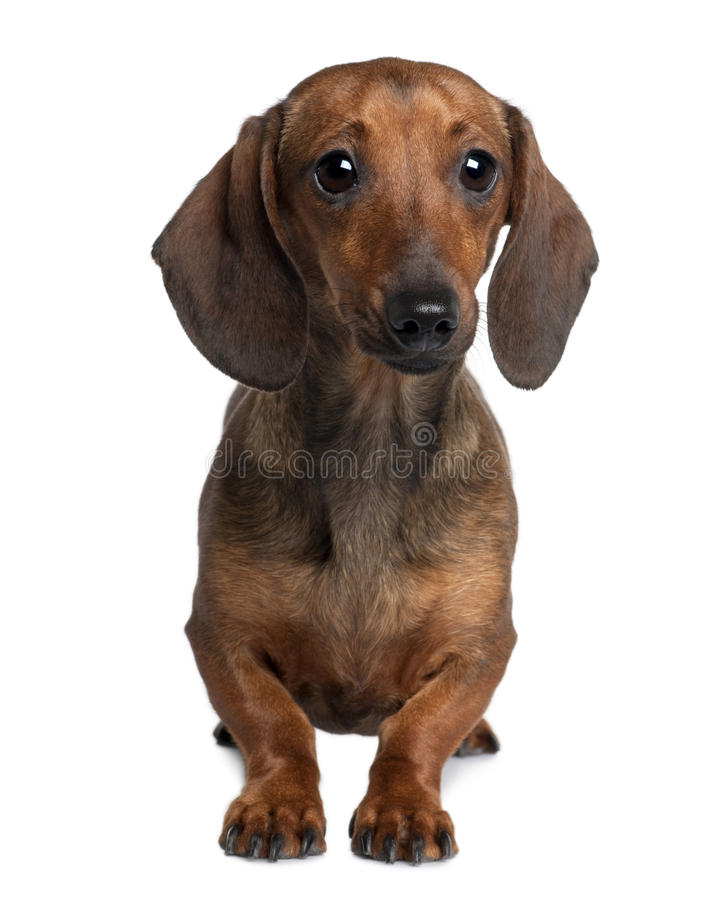 M And S Dachshund Front View Of Dachshun...