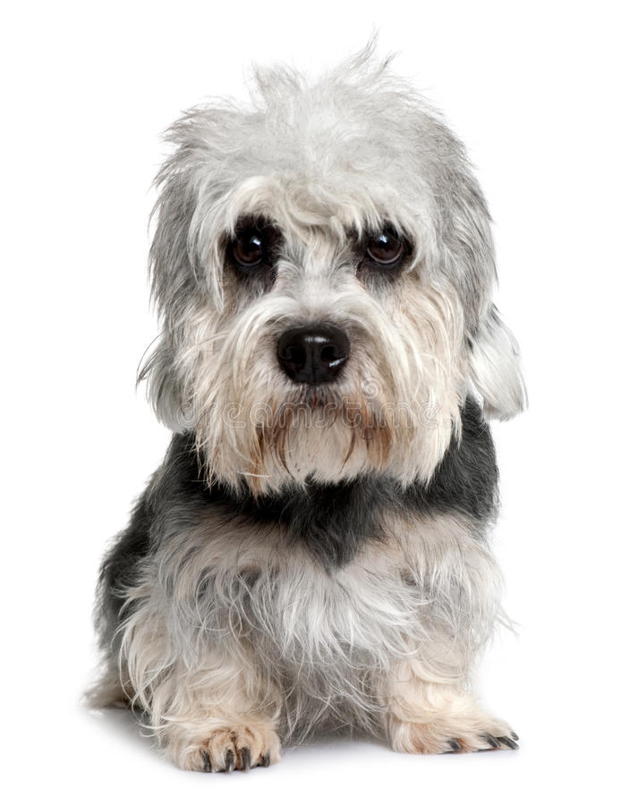 Front view of Dandie Dinmont Terrier, sitting royalty free stock image