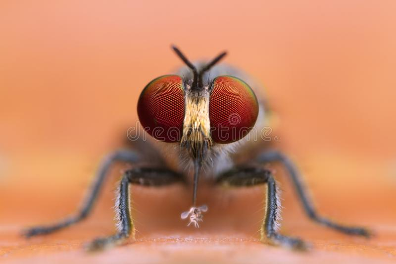 Front view of extreme magnified details robber fly eating prey in nature yellow leaf background. In nature outdoor royalty free stock photo