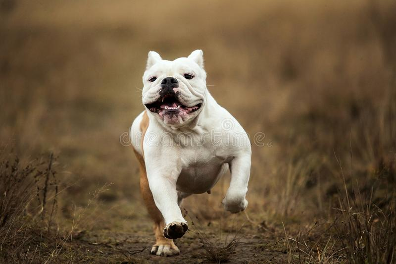 Front view at a female english bulldog walking on autumn field stock image
