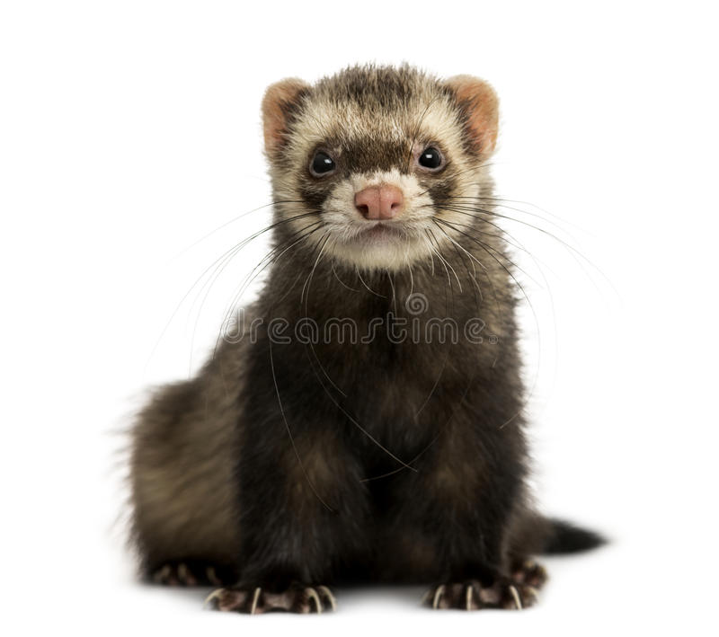 Front view of a Ferret looking at the camera, isolated royalty free stock photo