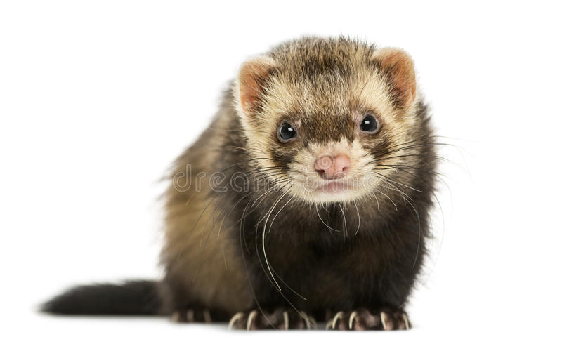 Front view of a Ferret looking at the camera, isolated stock photo