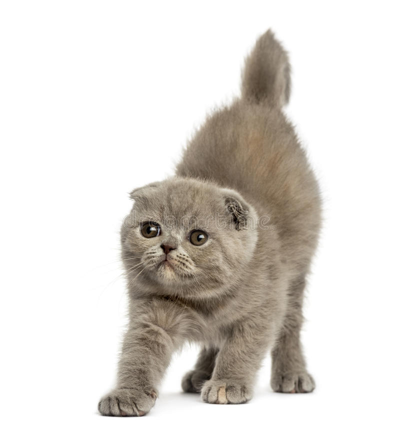Front view of a Foldex kitten stretching isolated on white stock photo