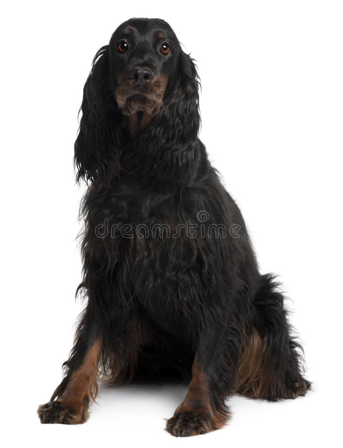 Download Front View Of Gordon Setter Dog, Sitting Royalty Free Stock Photos - Image: 12909038