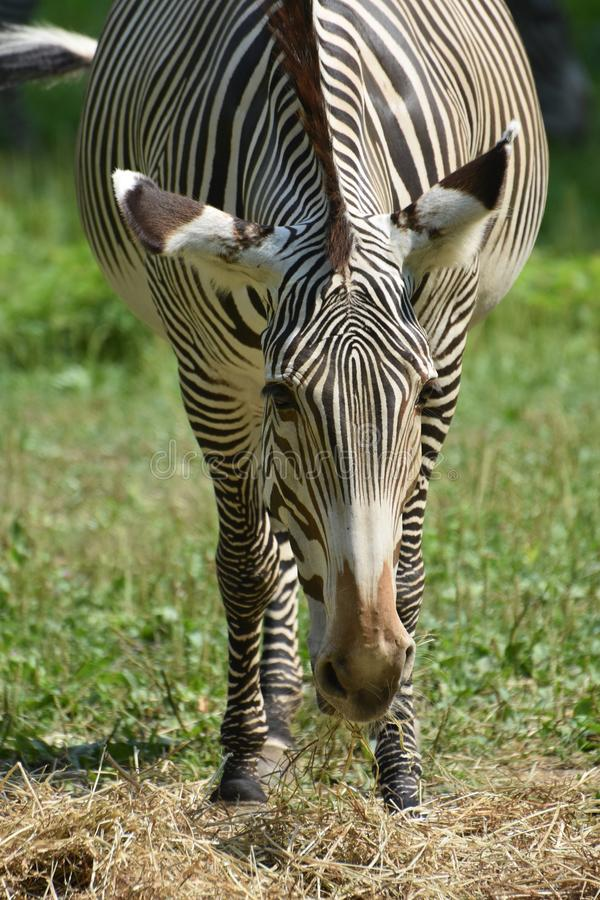 Front view of a grazing zebra in a field royalty free stock photos