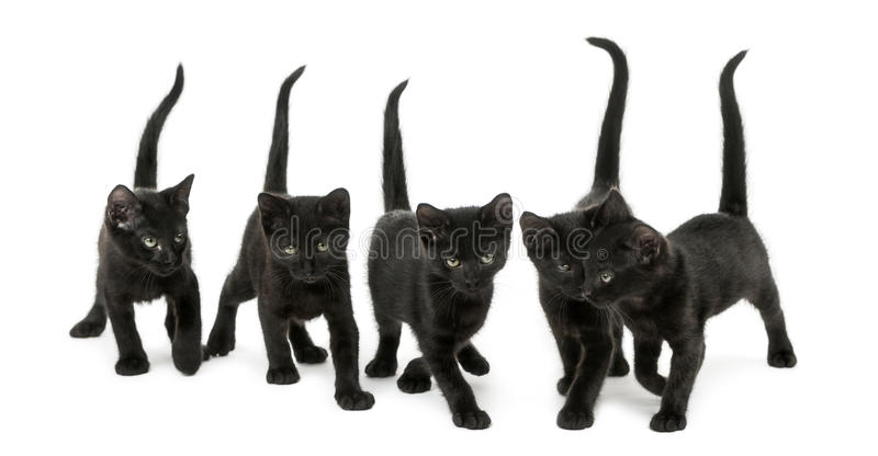 Front view of a Group of Black kitten. Walking in the same direction, 2 months old, isolated on white royalty free stock photo