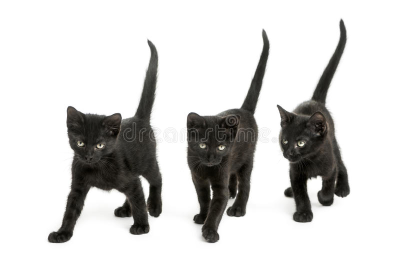 Front view of a Group of Black kitten. Walking in the same direction, 2 months old, isolated on white stock photo